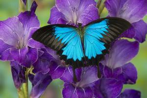 Mountain Blue Swallowtail of Australia, Papilio Ulysses by Darrell Gulin