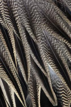 Northern Pintail Feather Detail by Darrell Gulin