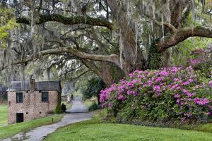 Oak Springtime azalea blooming, Charleston, South Carolina. by Darrell Gulin