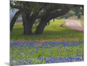 Oak Trees, Blue Bonnets, and Indian Paint Brush, Near Gay Hill, Texas, USA by Darrell Gulin