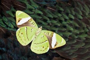Olive Green Butterfly on Feathers of Ring-Necked Pheasant Design by Darrell Gulin