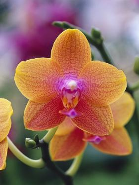 Orange and Yellow Orchid by Darrell Gulin