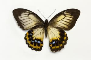 Orchard Swallowtail Butterfly Female, Wing Top and Bottom by Darrell Gulin