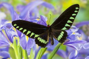 Palawan Birdwing or Triangle Birdwing Butterfly, Trogonoptera Trojana by Darrell Gulin