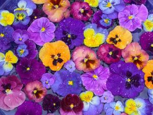 Pansy Flowers Floating in Bird Bath with Dew Drops, Sammamish, Washington, USA by Darrell Gulin
