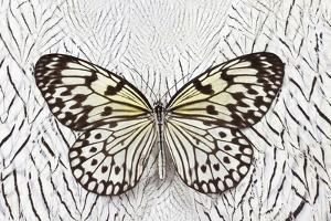 Paper Kite Butterfly on Silver Pheasant Feather Pattern by Darrell Gulin