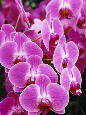 Pink Orchids by Darrell Gulin