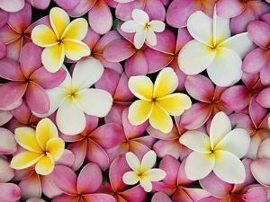 Plumeria Flowers by Darrell Gulin