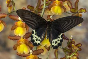Priapus Batwing Swallowtail Butterfly, Atrophaneura Priapus by Darrell Gulin
