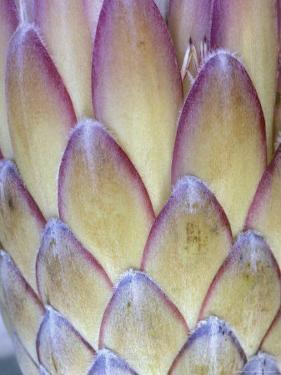 Protea, Maui, Hawaii, USA by Darrell Gulin