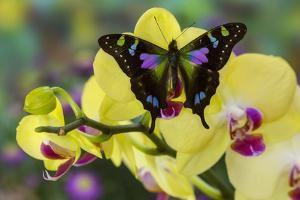 Purple Spotted Swallowtail Butterfly, Graphium Weskit by Darrell Gulin