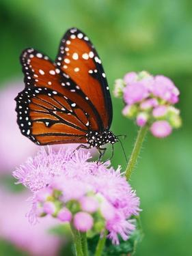 Queen Butterfly on a Pink Flower by Darrell Gulin