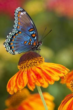 Red-Spotted Purple Butterfly by Darrell Gulin