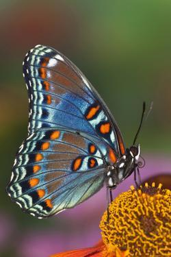Red Spotted Purple Butterfly by Darrell Gulin