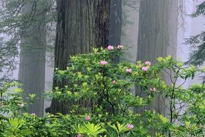 Rhododendrons and Redwoods by Darrell Gulin