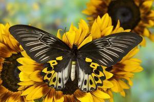 Rippon's Birdwing Butterfly, Female, Troides Hypolitus by Darrell Gulin