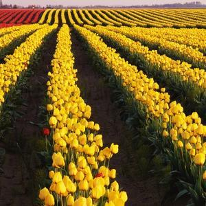 Rows of Yellow Tulips by Darrell Gulin