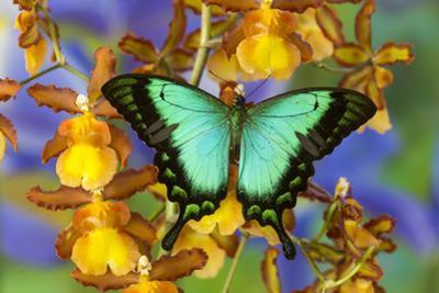 Sea Green Swallowtail Butterfly, Papilio by Darrell Gulin