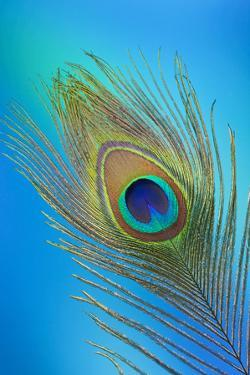 Single Male Peacock Tail Feather Against Colorful Background by Darrell Gulin