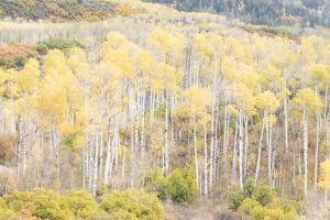 Soft focus on Aspens, Kebler Pass, Colorado by Darrell Gulin