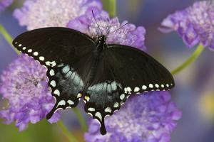 Spicebush Swallowtail Butterfly by Darrell Gulin