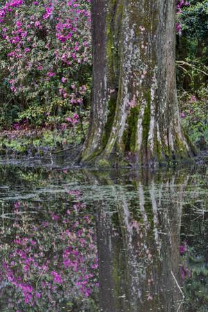 Springtime azalea blooming, Charleston, South Carolina. by Darrell Gulin