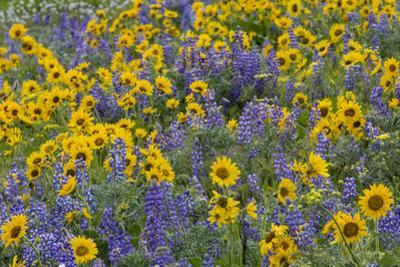 Springtime wildflowers, Dalles Mountain Ranch State Park, Washington State by Darrell Gulin