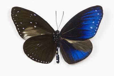 Striped Blue Crow Butterfly, Comparing to Wing and Bottom Wing