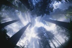 Sun Breaking Through Redwood Canopy by Darrell Gulin