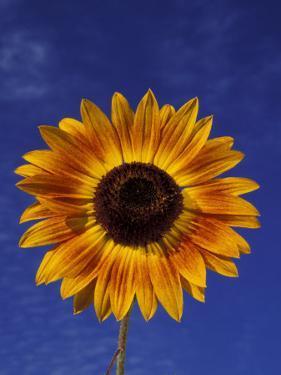 Sunflower and Blue Sky, Sammamish, Washington, USA by Darrell Gulin