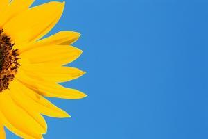 Sunflower and Blue Sky by Darrell Gulin