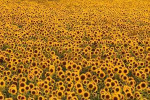 Sunflower Field in Bloom by Darrell Gulin