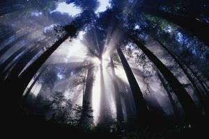Sunlight Passing Through Redwood Forest by Darrell Gulin