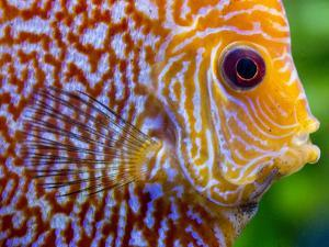 Super Pigeon Snakeskin Discus close-up, tropical freshwater fish. by Darrell Gulin