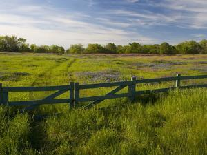 Texas Blue Bonnets, Vetch in Meadow Near Brenham, Texas, USA by Darrell Gulin