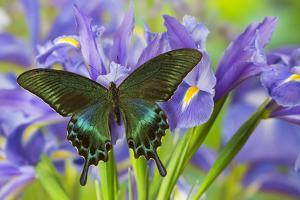 The Common Peacock Swallowtail Butterfly, Papilio Bianor by Darrell Gulin