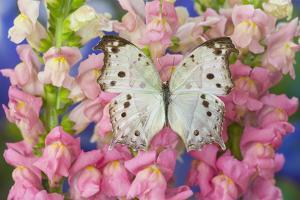 The Forest Mother of Pearl Butterfly from Areas of Salamis Parhassus by Darrell Gulin