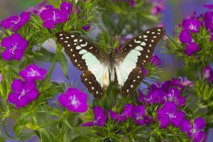 The Lesser Jay Butterfly, Graphium Evemon Orthia by Darrell Gulin