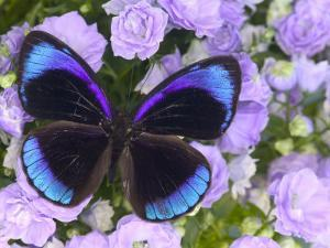The Midnight Blue Butterfly from Peru by Darrell Gulin