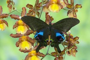 The Peacock Swallowtail Butterfly, Papilio Arcturus by Darrell Gulin