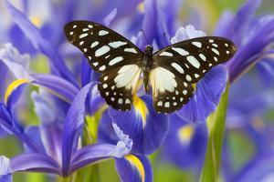 The Veined Swordtail Butterfly, Graphium Leonidas by Darrell Gulin