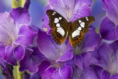 Tropical Butterfly, Moduza Mata Amida