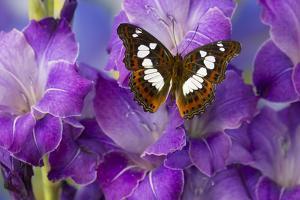 Tropical Butterfly, Moduza Mata Amida by Darrell Gulin