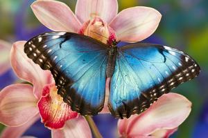 Tropical Butterfly the Blue Morpho open winged on tropical orchid by Darrell Gulin