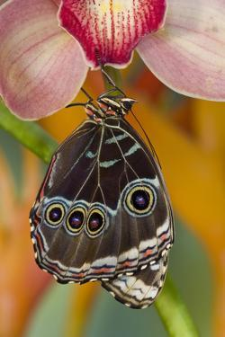 Tropical Butterfly the Blue Morpho wings closed hanging on Orchid by Darrell Gulin