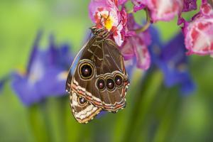 Tropical Butterfly the Blue Morpho wings closed on orchid by Darrell Gulin