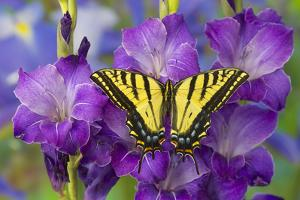 Two-Tailed Swallowtail Butterfly by Darrell Gulin