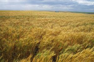 Wheat Blowing in the Wind by Darrell Gulin