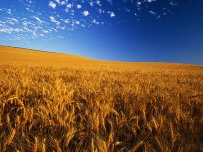 Wheat Field by Darrell Gulin