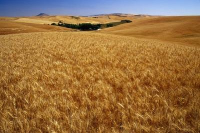 Wheat Field by Darrell Gulin